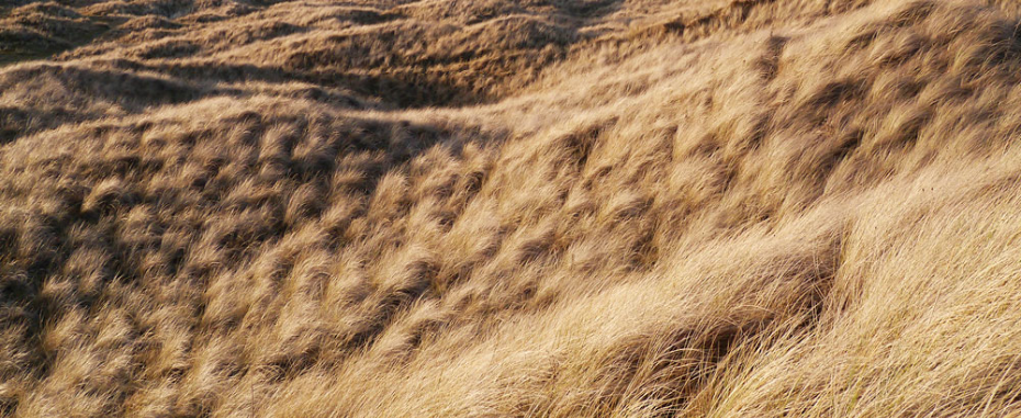 Grassy dunes in midwinter at Coul Links